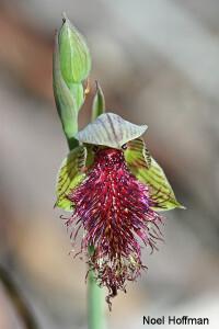 Beard Orchids